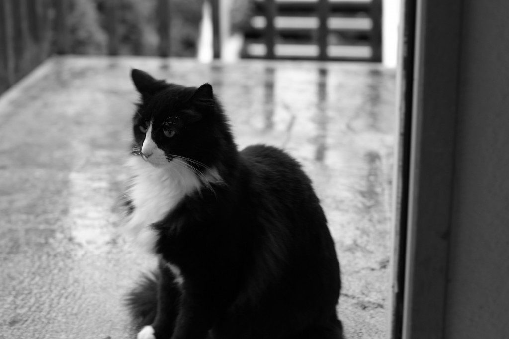 Henri, sometimes called the Existentialist Cat, an an internet star. Photo courtesy Will Braden.