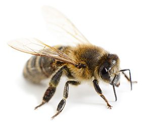 bee-shutterstock_281489945-Recovered