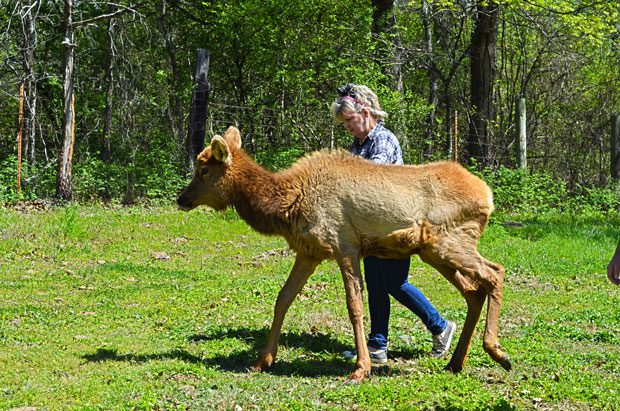 Karen Flusche spends time with Greta the elk calf currently in rehab at Fluscheville Farm in Muskogee. Photos by Dan Morgan