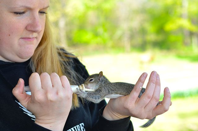 Fluscheville farm volunteer Whitney Ball feeds an orphaned grey squirrel.